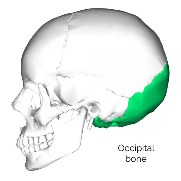 Occipital skull bone