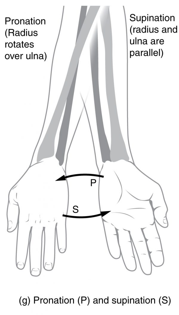 Pronation and Supination Movements