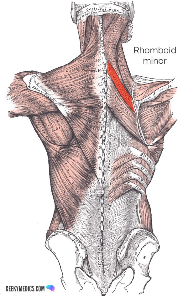 Rhomboid minor