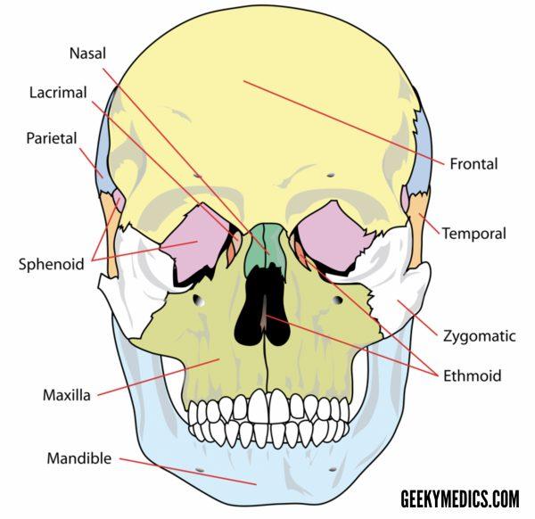 Skull bones (anterior)