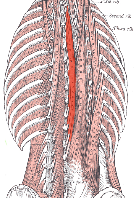 Spinalis muscles