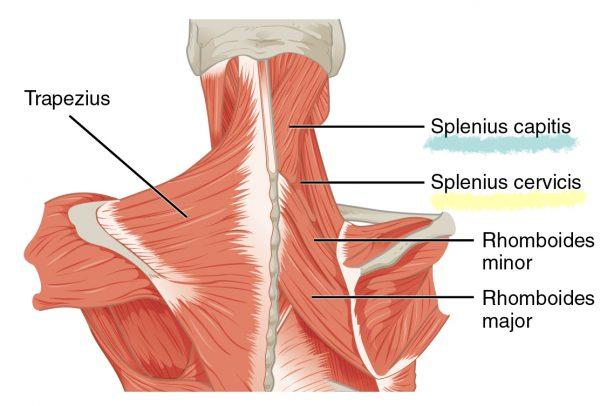 Splenius Capitis and Splenius Cervicis