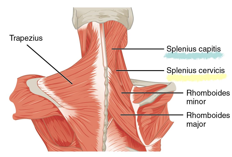 Deep Back Muscles | Anatomy | Geeky Medics