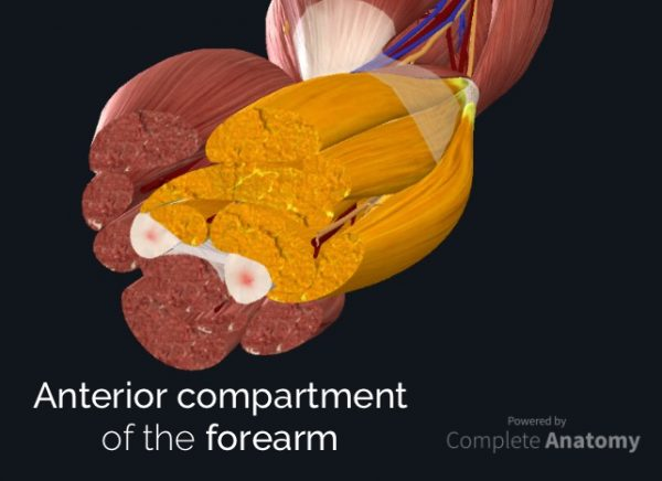 Anterior Compartment of forearm