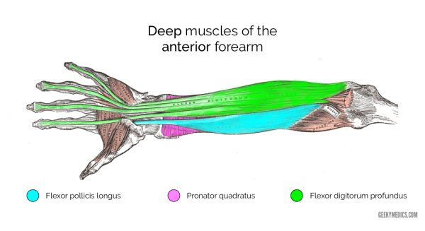 Deep muscles of the anterior forearm