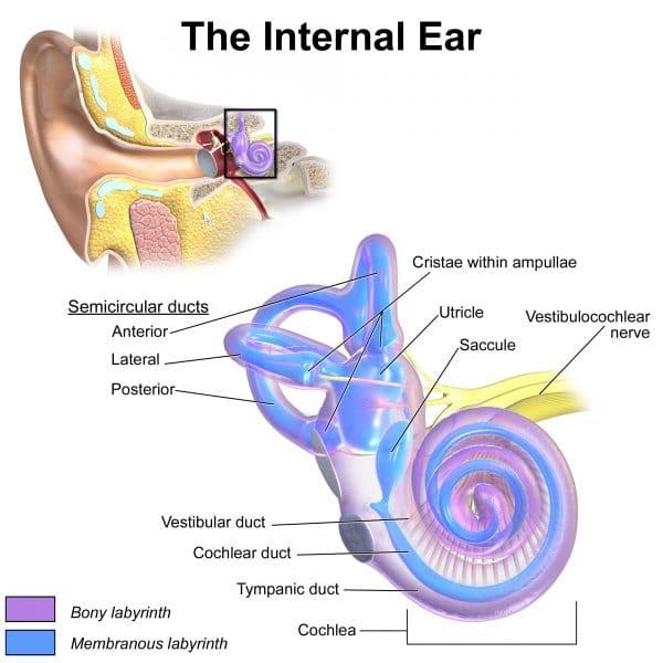 Inner ear anatomy (cochlear)