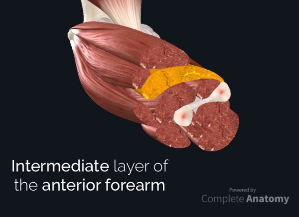 Intermediate layer of the anterior forearm