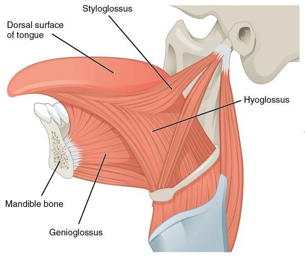 Muscles of the tongue (styloglossus-hyoglossus-genioglossus)