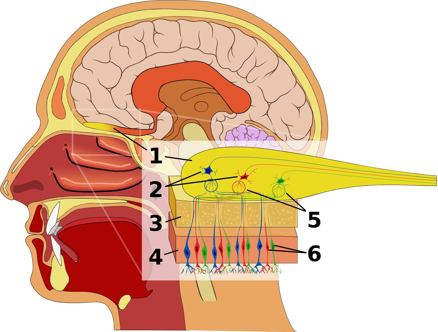 The Olfactory Nerve  Cn I