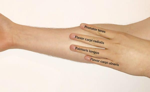 Superficial forearm muscles fingers