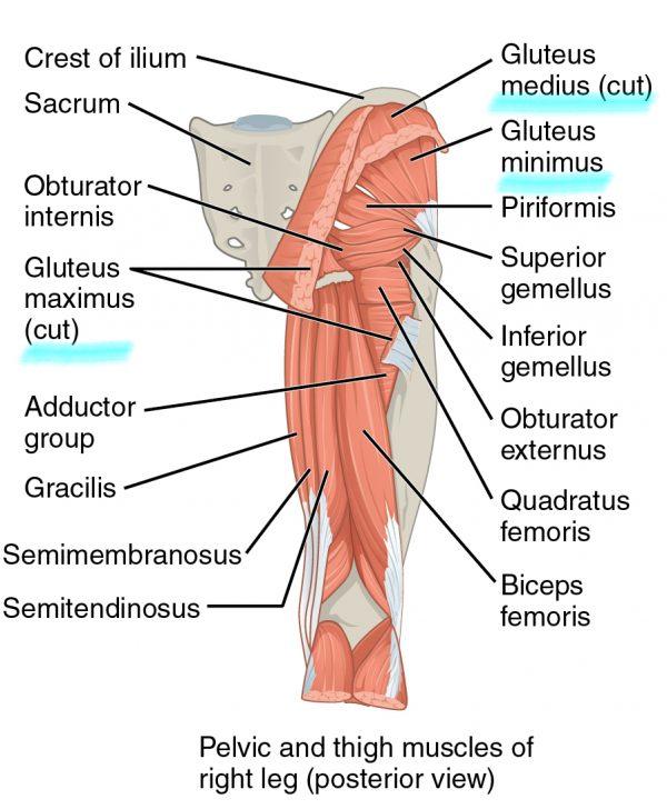 Gluteus maximus, gluteus minimus