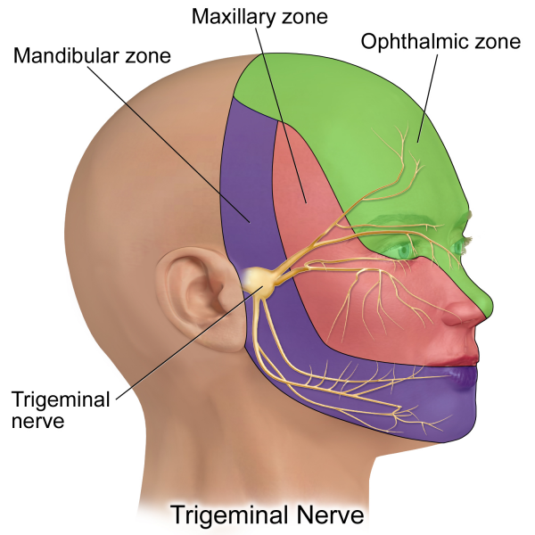 Trigeminal Nerve Branches