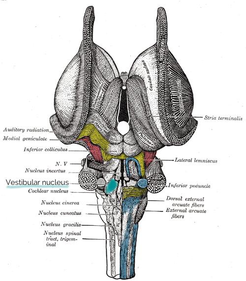 Vestibular nucleus