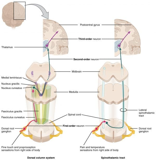ascending pathways of the spinal cord (dorsal column system and spinothalamic tract)