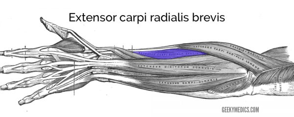 Extensor carpi radialis brevis muscle