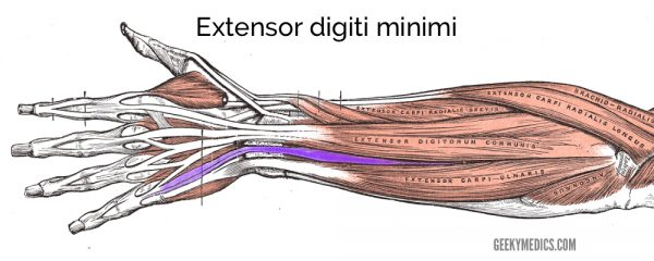 Extensor digiti minimi muscle