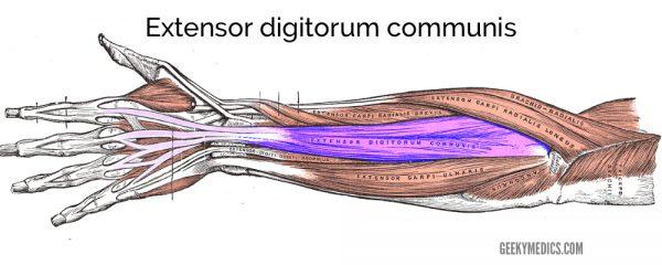 Extensor digitorum communis muscle