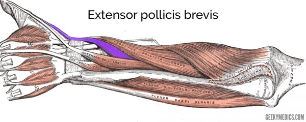 Extensor pollicis brevis muscle