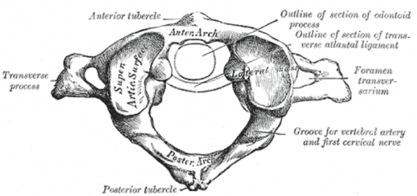 C1 vertebra - atlas (atypical)