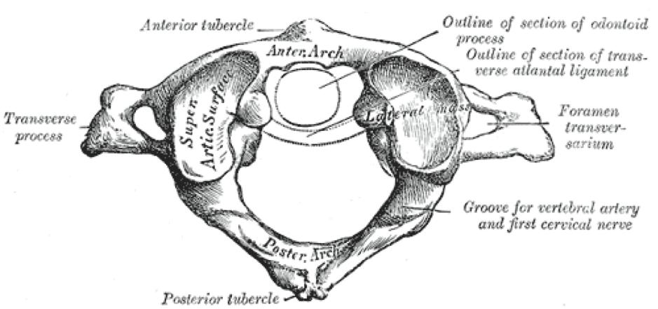 Atypical Vertebrae of the Vertebral Column   Spine   Geeky