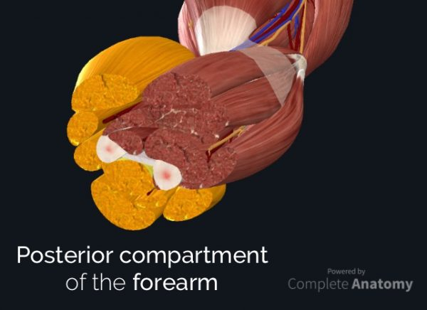 Posterior compartment of the forearm