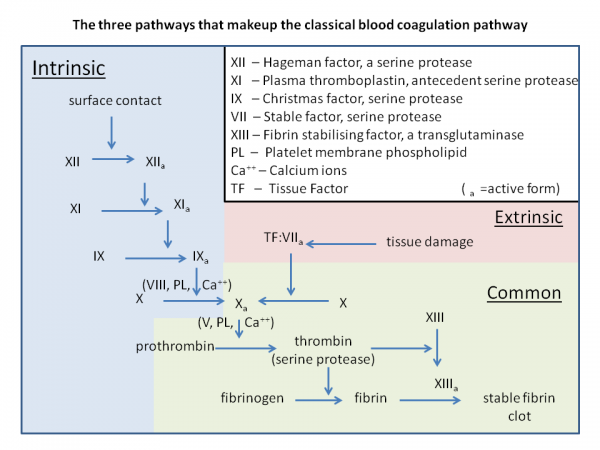 Classical blood coagulation pathway
