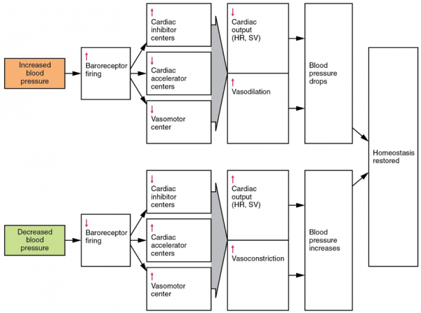 Baroreceptor reflex diagram