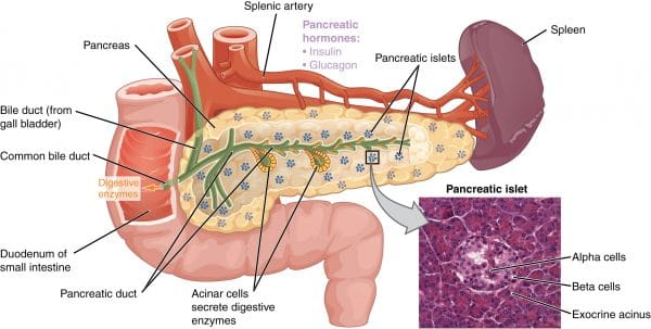 Anatomy of the pancreas