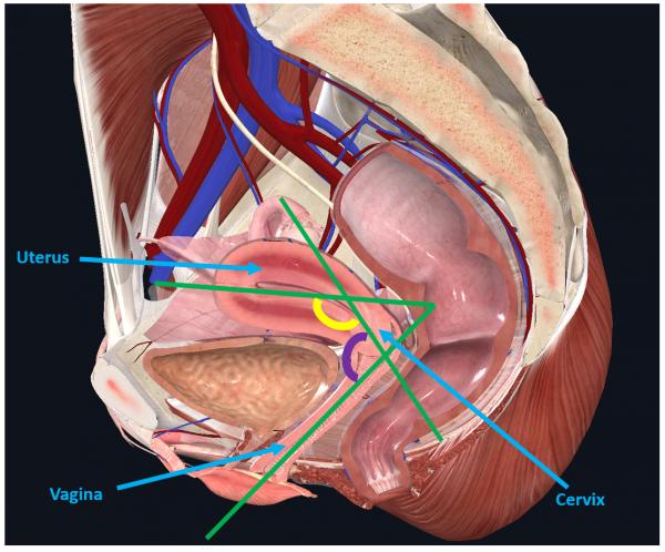 anatomical relations of uterus