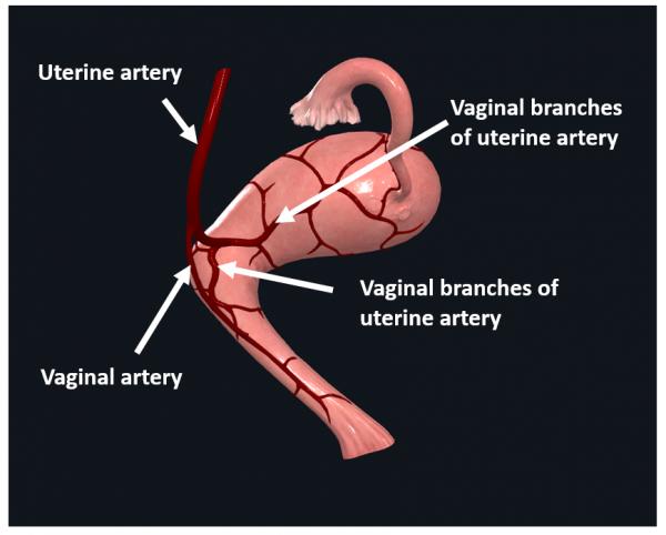 uterus vasculature