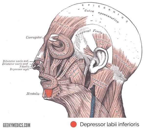 Depressor labii inferioris