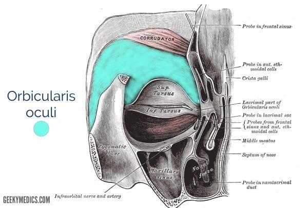 orbicularis oculi muscle