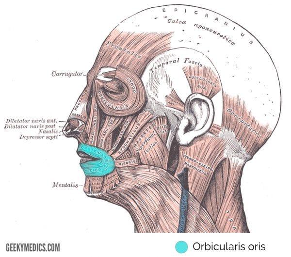 Orbicularis oris
