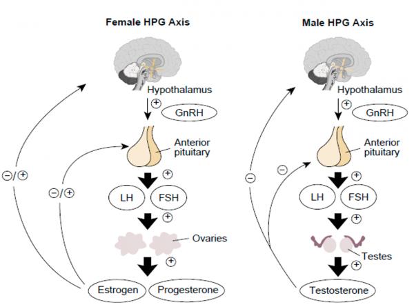 HPG axis- male, female