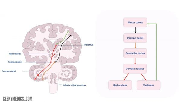 Figure 5. Cerebrocerebellar connections. Corticopontine fibres are demonstrated. The cerebellum receives pontocerebellar fibres via the middle cerebral peduncles. Efferent fibres project to the contralateral thalamus and red nucleus, which in turn project back to the cortex.