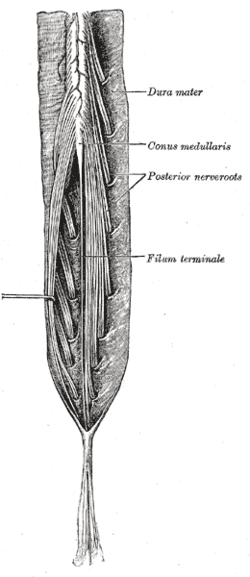 Anatomy of the end of the spinal cord proper
