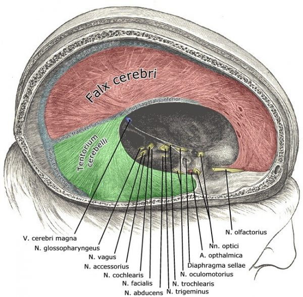 Intracranial compartments formed by reflections of the dura mater