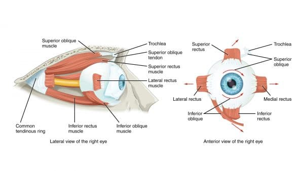 Extraocular muscles