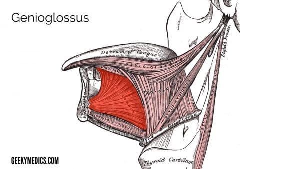 Figure 1: Genioglossus (highlighted)