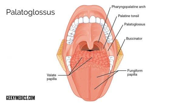 Palatoglossus