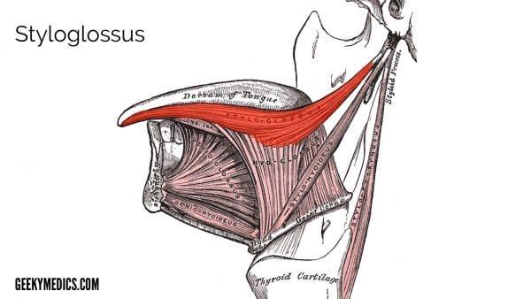 Figure 3: Styloglossus (highlighted)