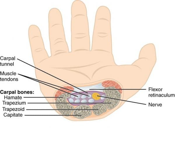 Carpal Tunnel Anatomy