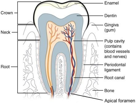 Tooth cross-sectional anatomy