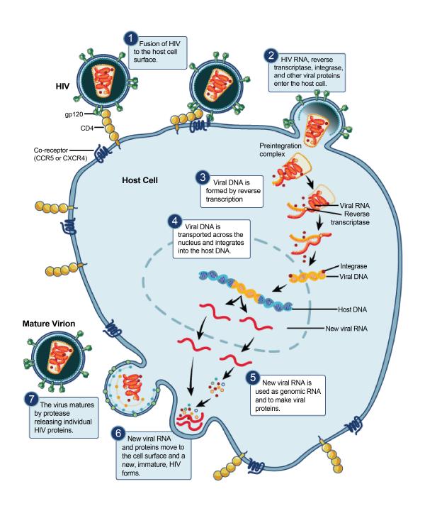 HIV replication cycle
