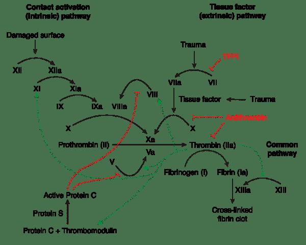 The Coagulation Cascade
