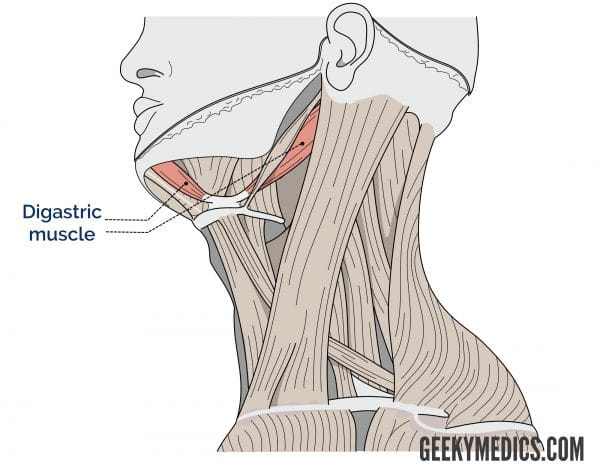 Digastric muscle