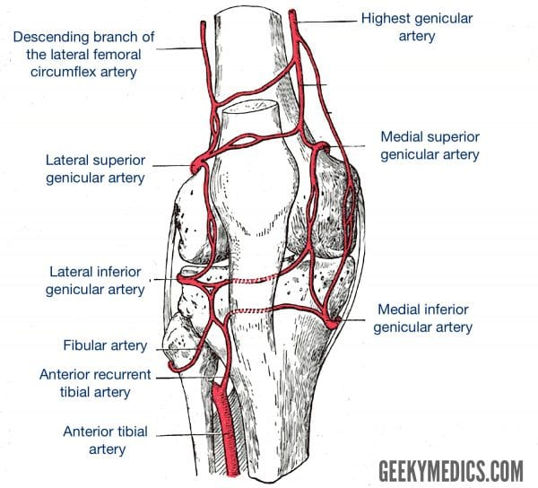 Arterial supply of the knee joint