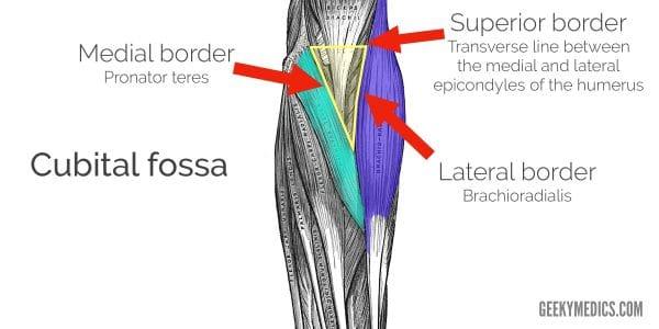 Borders of the cubital fossa