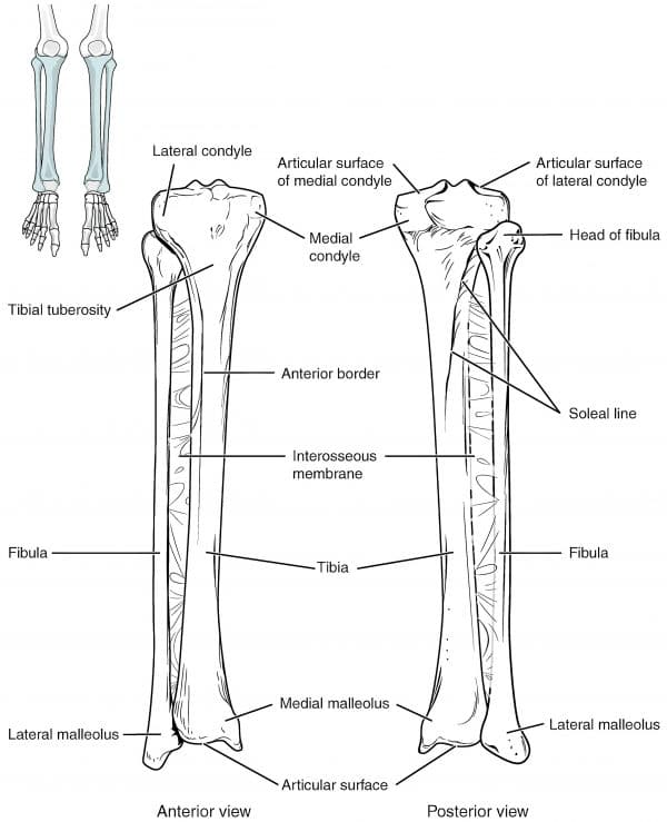 Tibia and fibula