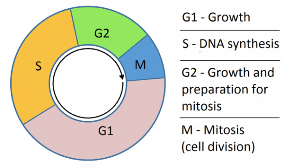 The cell replication cycle.